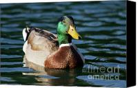 Bird Canvas Prints - Mallard Duck in Pond Canvas Print by Dustin K Ryan