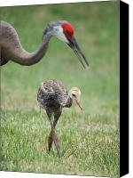 Sandhill Crane Canvas Prints - Mama and Juvenile Sandhill Crane Canvas Print by Carol Groenen