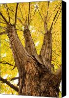 Buy Framed Prints Canvas Prints - Maple Tree Portrait Canvas Print by James Bo Insogna