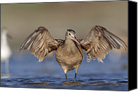Color Stretching Canvas Prints - Marbled Godwit Stretching Its Wings Canvas Print by Tim Fitzharris