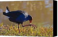 Feed Canvas Prints - March of the Swamphen Canvas Print by Mike  Dawson
