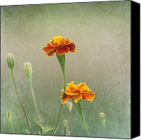 Orange Flower Photo Canvas Prints - Marigold Fancy Canvas Print by Kim Hojnacki