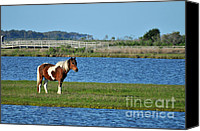 Assateague Canvas Prints - Marsh Horse Canvas Print by Paul Ward