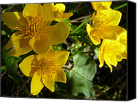 Sue Jenkins Canvas Prints - Marsh Marigolds Canvas Print by Sue Jenkins