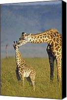 Giraffes Canvas Prints - Masai Giraffe Mother And Young Kenya Canvas Print by Tim Fitzharris