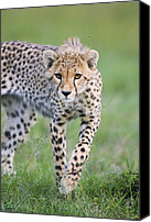 Acinonyx Canvas Prints - Masai Mara Cheetah Cub Canvas Print by Suzi Eszterhas