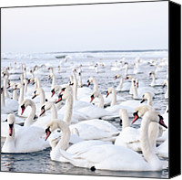 Flock Of Birds Canvas Prints - Massive Amount Of Swans In Winter Canvas Print by Mait Juriado photo