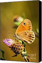 Purple Flowers Canvas Prints - Meadow brown butterfly  Canvas Print by Elena Elisseeva