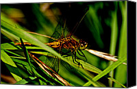 Meadowhawk Canvas Prints - Meadowhawk Dragonfly 11 Canvas Print by Darryl Smith