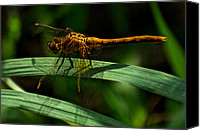 Meadowhawk Canvas Prints - Meadowhawk Dragonfly 5 Canvas Print by Darryl Smith