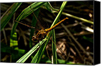 Meadowhawk Canvas Prints - Meadowhawk Dragonfly 8 Canvas Print by Darryl Smith