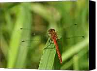 Meadowhawk Canvas Prints - Meadowhawk Dragonfly Canvas Print by Michael Peychich