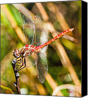 Meadowhawk Canvas Prints - Meadowhawk Canvas Print by Mitch Shindelbower