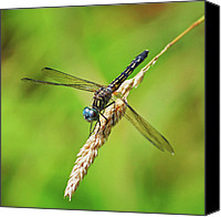 Meadowhawk Canvas Prints - Meadowhawk Canvas Print by Rodney Campbell
