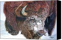 Buffalo Drawings Canvas Prints - Meager Fare Canvas Print by Susan Moyer