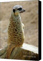 Zoo Canvas Prints - Meerkat Portrait Canvas Print by Carlos Caetano