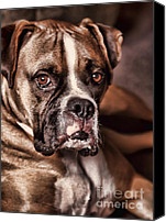 Boxer Dog Canvas Prints - Meet Rocky Canvas Print by Deborah Benoit
