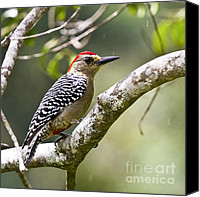 Aves Canvas Prints - Melanerpes rubricapillus Canvas Print by Heiko Koehrer-Wagner