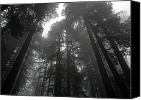 Jonathan Schreiber Canvas Prints - Mighty Redwoods Canvas Print by Jonathan Schreiber