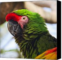 Parrot Canvas Prints - Military Macaw Parrot Canvas Print by Adam Romanowicz