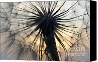 Setting Sun Canvas Prints - Milkweed 4 Canvas Print by Bob Christopher