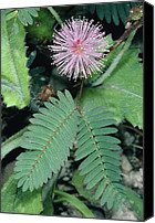 Pudica Canvas Prints - Mimosa Pudica. Canvas Print by Bob Gibbons