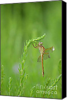 Meadowhawk Canvas Prints - Miss Dragonfly Canvas Print by Kathy Gibbons