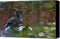 Female Wood Duck Canvas Prints - Missy Wood Duck Canvas Print by Sharon  Talson