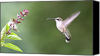 Humming Bird Canvas Prints - mmmm Nectar Canvas Print by Veronica Ventress