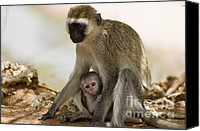 Kenya Canvas Prints - Mom and Baby Monkey Canvas Print by Darcy Michaelchuk