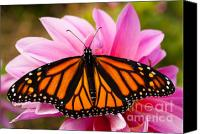 Steve Augustin Canvas Prints - Monarch and Dahlia Canvas Print by Steve Augustin