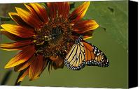 Monarch  Canvas Prints - Monarch and The Bee Canvas Print by Cindi Ressler