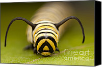Close Up Canvas Prints - Monarch Butterfly Caterpillar I Canvas Print by Clarence Holmes