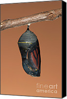 Invertebrate Canvas Prints - Monarch Butterfly Chrysalis II Canvas Print by Clarence Holmes