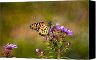Fine Photography Art Canvas Prints - Monarch Butterfly in the afternoon sun Canvas Print by James Steele