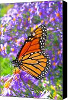 Feed Canvas Prints - Monarch Butterfly Canvas Print by Olivier Le Queinec