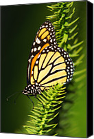 Insect Photography Canvas Prints - Monarch Butterfly Canvas Print by The Photography Factory