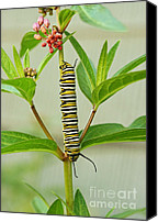 Steve Augustin Canvas Prints - Monarch Caterpillar and Milkweed Canvas Print by Steve Augustin