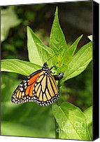 Steve Augustin Canvas Prints - Monarch Egg Time Canvas Print by Steve Augustin