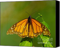 Monarch  Canvas Prints - Monarch On Hackberry Canvas Print by Robert Frederick