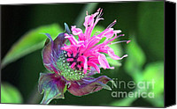 Horsemint Canvas Prints - Monarda Canvas Print by Erica Hanel