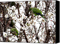 Retiro Canvas Prints - Monk Parakeets Canvas Print by Keith Stokes