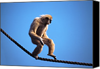 Rope Canvas Prints - Monkey Walking On Rope Canvas Print by John Foxx