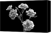 Carnation Canvas Prints - Monochrome Spray. Canvas Print by Terence Davis