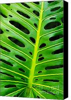 Lined Canvas Prints - Monstera leaf Canvas Print by Carlos Caetano