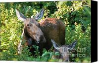 White Mountains Canvas Prints - Moose - White Mountains New Hampshire  Canvas Print by Erin Paul Donovan