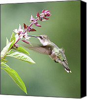 Humming Bird Canvas Prints - More basil Canvas Print by Veronica Ventress