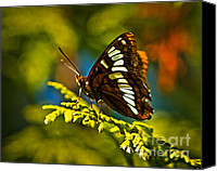 Insect Photography Canvas Prints - Mormon Metalmark Canvas Print by Robert Bales