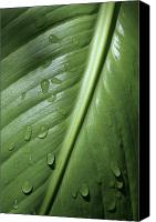 Canna Canvas Prints - Morning Dew Canvas Print by Jeannie Burleson