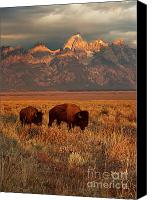 Bison Canvas Prints - Morning Travels in Grand Teton Canvas Print by Sandra Bronstein